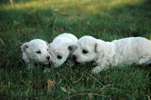 bichon maltese - | IMAGES - Bloguez.com