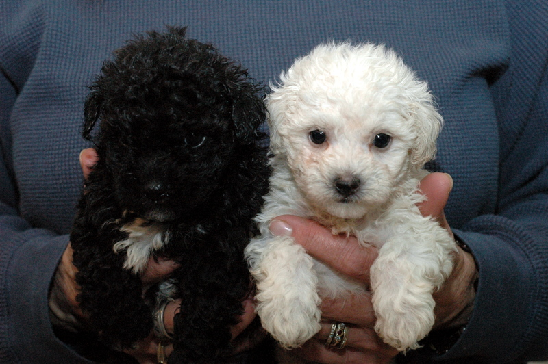 maltipoo puppies for sale in michigan