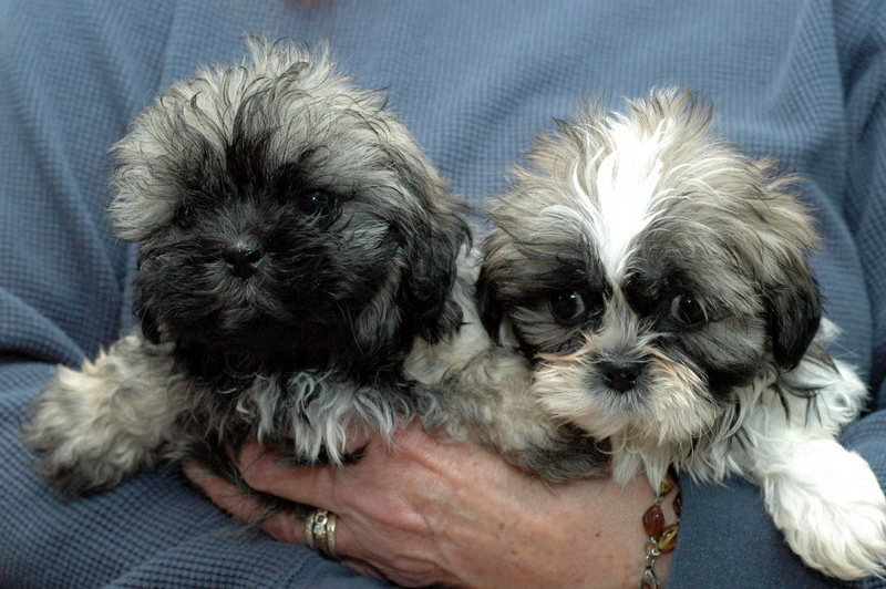 Teddy bear rescue in illinois dog breeds picture